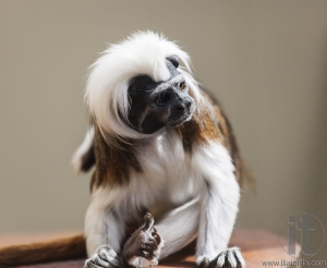 Cotton-Top Tamarin (Saguinus Oedipus). They are one of  the smallest of the primates.  Live in Costa Rica and north western Columbia.