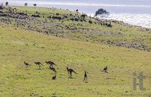 Hopping kangaroos. Bingie (near Morua) . NSW. Australia