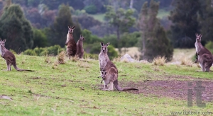 Kangaroos at sunset. Eurobodalla national park. NSW. Australia