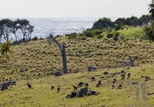 Kangaroos grazing. Bingie (near Morua) . NSW. Australia