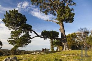 Landscape with a huge pine tree. Bingie. Nsw. Australia.