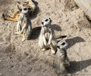 Meerkat (Suricata suricatta). Live in savannah and desert areas of Angola, southern Botswana, Namibia and South Africa.