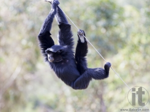 Siamang (Hylobates syndactylus). The largest of the Gibbon ape species. Found in the Malay Peninsula and Sumatra.