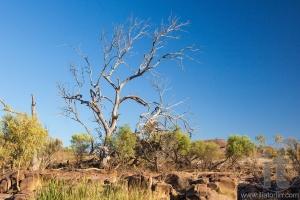Dry tree. Flinders Ranges. South Australia