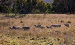 Sheep grazing. Tablelands near Oberon. New South Wales. Australia.