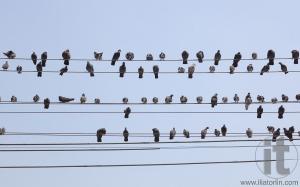 Flock of pigeons sit on wires. Yangon. Myanmar.