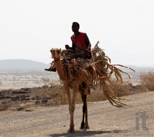 Man on Camel. Around Massawa and Adulis. Eritrea. Africa.