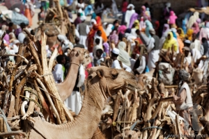 Monday Camel and wood Market. Keren. Eritrea. Africa