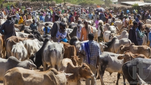 BABILE. ETHIOPIA - DECEMBER 23, 2013: Brahman bull, Zebu and other cattle for sale at one of the largest livestock market in the horn of Africa countries.