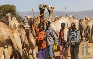 BABILE. ETHIOPEA - DECEMBER 23, 2013: Camels for sale at one of the largest livestock market in the horn of Africa countries.