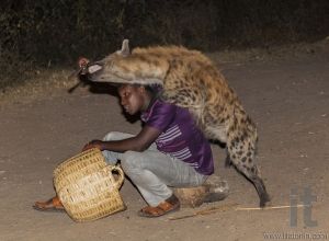 Man feeds a spotted hyena (crocuta crocuta) in ancient city of Jugol. Tradition that started some years ago still maintained today.