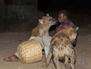 Man feeds spotted hyenas (crocuta crocuta) in ancient city of Jugol. Tradition that started some years ago still maintained today.