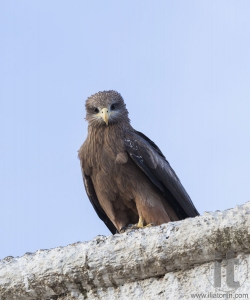 Lanner falcon on the walls of camel meat butchery in walled city