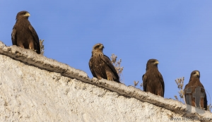 Lanner falcons on the walls of camel meat butchery in walled cit