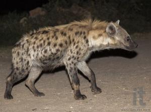 Spotted hyena (crocuta crocuta) in ancient city of Jugol. Harar. Ethiopia.