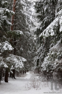 Pinewood forest after heavy snowfall. Moscow region. Russia.