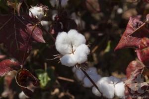 Close up of cotton boll. Weita. Omo Valley. Ethiopia.